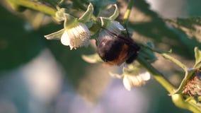 Bumblebee συλλέγει το νέκταρ σε ένα λουλούδι σμέουρων απόθεμα βίντεο