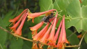 Bumblebee συλλέγει το νέκταρ απόθεμα βίντεο