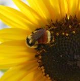 Χαριτωμένο Bumblebee στοκ φωτογραφία με δικαίωμα ελεύθερης χρήσης