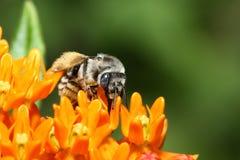 bumblebee χρυσός βόρειος λουλ&omic Στοκ φωτογραφία με δικαίωμα ελεύθερης χρήσης