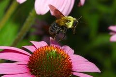 bumblebee χρυσός βόρειος πτήσης Στοκ εικόνες με δικαίωμα ελεύθερης χρήσης