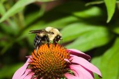 bumblebee χρυσός βόρειος Στοκ Εικόνες