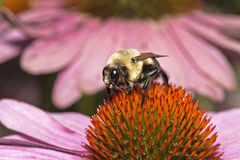 Bumblebee. Closeup on purple coneflower in garden Royalty Free Stock Photo