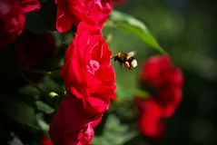 Bumblebee. On the rose flower Stock Image