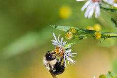 Bumblebee. A bumblebee extracting pollen from a flower Royalty Free Stock Image