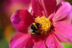 Bumblebee Stock Photo