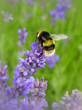 Bumblebee. Collecting nectar from a lavender flower Stock Images