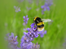 Bumblebee. Collecting nectar from a lavender flower Stock Photo