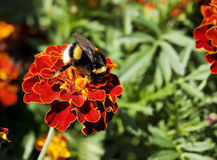 Bumblebee. Collects nectar from a flower Stock Photos