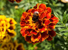 Bumblebee. Sitting on a bright flower Royalty Free Stock Image