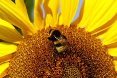 Bumblebee. Bumble bee on a sunflower royalty free stock photos