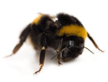 Bumblebee. Isolated on a white background royalty free stock photo