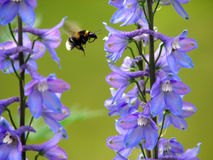 Bumblebee. Flying from one flower to another Stock Image
