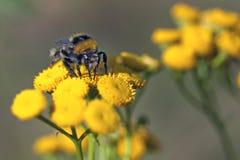 bumblebee Στοκ φωτογραφίες με δικαίωμα ελεύθερης χρήσης