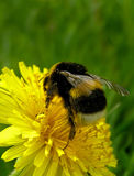 Bumblebee. On a dandelion Royalty Free Stock Photo