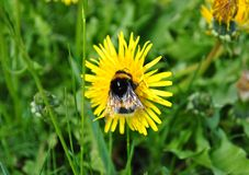 Bumblebee. On yellow flower of Taraxacum busy collecting pollen in the spring in the valleys of Trentino royalty free stock photo