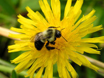 bumblebee 2 zdjęcie stock