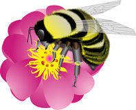 Bumblebee. Sitting on a pink flower and collecting pollen stock illustration