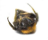 Free Bumblebee Stock Photos - 2344533