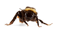 Bumblebee. The insect - a bumblebee, sits on a white background Royalty Free Stock Image