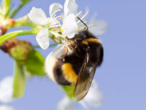 Free Bumblebee Stock Photo - 25010020