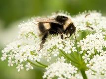 bumblebee Obrazy Stock
