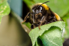 Bumblebee Royalty Free Stock Photos