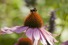 Bumblebee. S are social insects that are characterised by black and yellow body hairs Royalty Free Stock Photo