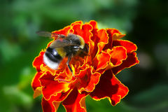 Bumblebee Stock Photography
