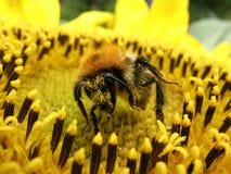 The bumblebee Royalty Free Stock Photos