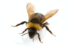 Free Bumblebee Royalty Free Stock Photography - 3382577