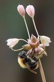 Bumblebee. Zdjęcie Royalty Free