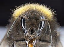Bumblebee fotografia stock