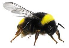 Free Bumblebee Royalty Free Stock Photo - 43302515