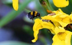 bumblebee Zdjęcia Stock