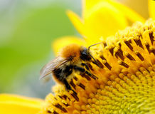 Bumblebee. On a  sunflower in summer time Royalty Free Stock Photos