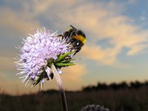 The bumblebee. Sits on a flower on a background of the sky Royalty Free Stock Photo
