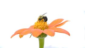 Bumblebee Stock Images