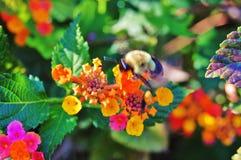 bumblebee Obraz Stock