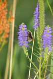 Bumblebee. Close up of the bumblebee on veronica flower Royalty Free Stock Image