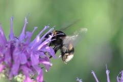 bumblebee στοκ εικόνες με δικαίωμα ελεύθερης χρήσης