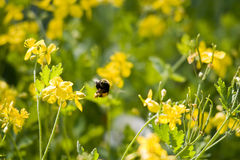 Bumblebee acrobatics Stock Images