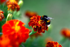 Bumblebee on Afrikaner flower. In the garden in summer Royalty Free Stock Photography