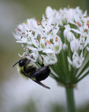 Bumblebee on Allium Tuberosum plant. Bumblebee on the white flowers of a Allium Tuberosum plant Royalty Free Stock Photo