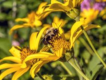 Bumblebee, also written bumble bee. Is any member of the bee genus Bombus, in the family Apidae stock photos
