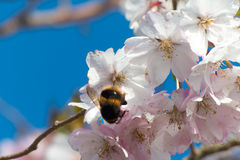 Bumblebee on apple tree flower Royalty Free Stock Photography