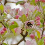 Bumblebee in apple tree flower. Close up of bumblebee in apple tree flower collecting nectar and pollen stock photo