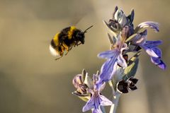 Bumblebee approaching a purple flower in spring stock photo