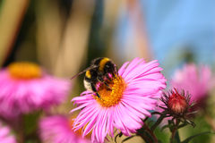 Bumblebee on a aster. Royalty Free Stock Photos