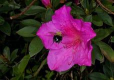 Bumblebee and Azalea. A Bumblebee Flying into an Azalea flower Stock Images